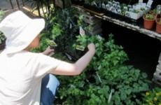 緑のカーテン①苗をプランターに移す