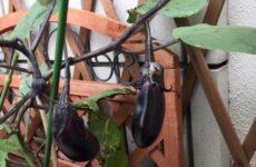 夏野菜 育ってます!